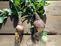 Rutabaga - crop harvest Stock Photo