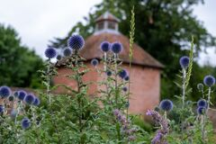 Ruthenian globe thistle, also known as Echinops bannaticus, in the historic walled garden at Eastcote House Gardens, UK