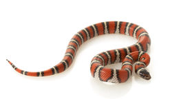 Ruthven�s Kingsnake Stock Photography