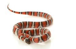 Ruthven�s Kingsnake Stock Photos