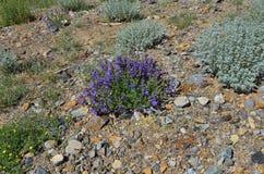 Rutifolia dell'artemisia di artemisia e fiori blu di Dracocephalu Fotografia Stock