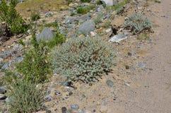 Rutifolia dell'artemisia di artemisia nel paesaggio della steppa del mou di Altai Fotografie Stock