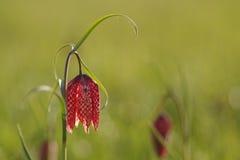 Rutig lilja i vår Fotografering för Bildbyråer