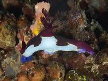 Rutilans di nembrotha di Nudibranch Fotografia Stock