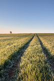 Ruts in field and solitaire tree under blue sky Stock Photo