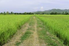 Rutt mellan risfält Fotografering för Bildbyråer