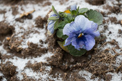 Rutten blomma på fryst jordning Royaltyfri Foto