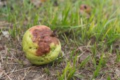 Rutten guavafrukt, skada från trädgården royaltyfri bild