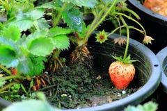 Rutten jordgubbe i trädkruka Fotografering för Bildbyråer