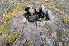 Rutten trädstubbe med ett hål i mitten och svampen inom Arkivbild