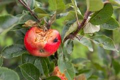 Ruttet äpple arkivfoto