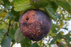 Ruttet äpple med en form på ett äppleträd arkivfoton