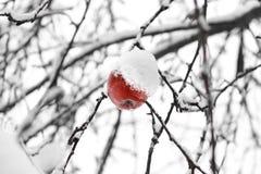 Ruttet äpple på träd royaltyfri foto