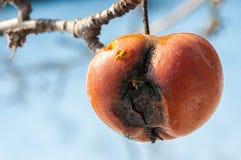 Ruttet äpple på trädet i Januari royaltyfri foto