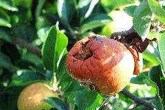 Ruttet dåligt äpple på ett träd Royaltyfri Fotografi