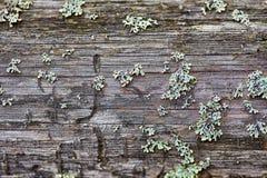 Ruttet trä och lav Arkivbilder