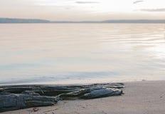 Ruttet träd på stranden Arkivbild