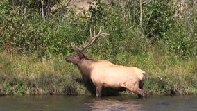 Rutting公牛麋Bugling在河 股票视频