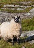 rutting的绵羊 免版税图库摄影