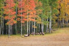 Rutting麋牧群 图库摄影