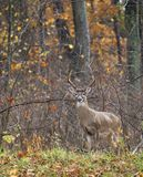 Rutting buck Royalty Free Stock Images