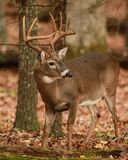 Rutting Buck Stock Photography