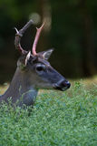 Rutting buck Stock Images