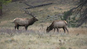 Rutting Bull and Cow Elk Royalty Free Stock Photos