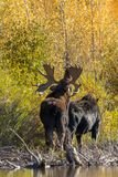 Rutting Bull and Cow Shiras Moose. A bull and cow shiras moose in the fall rut in Wyoming Royalty Free Stock Image