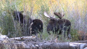 Rutting Bull and Cow Shiras Moose stock footage
