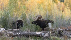 Rutting Bull and Cow Shiras Moose stock video footage
