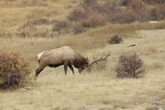 Rutting Bull Elk Stock Image