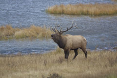Rutting Bull Elk Bugling Royalty Free Stock Images