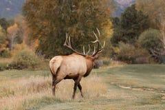Rutting Bull Elk Bugling Stock Image