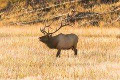 Rutting Bull Elk Bugling Royalty Free Stock Photo