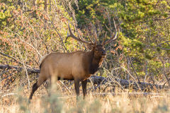 Rutting Bull Elk Bugling Royalty Free Stock Photo