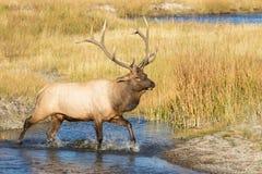 Rutting Bull Elk Crossing Stream Royalty Free Stock Photo
