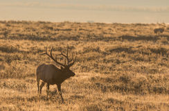 Rutting Bull Elk Royalty Free Stock Image