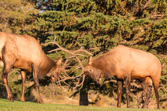 Rutting Bull Elk Fighting. A pair of bull elk fighting for dominance during the fall rut royalty free stock photography