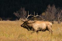 Rutting Bull Elk in Meadow Stock Photos