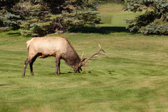 Rutting Bull Elk Royalty Free Stock Photography