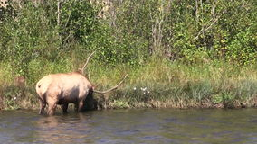Rutting Bull Elk in River stock footage