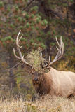 Rutting Bull Elk Stock Photo
