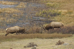 Rutting Bull Elk Sparring Royalty Free Stock Images