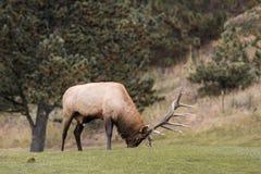 Rutting Bull Elk Royalty Free Stock Image