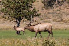 Rutting Bull Elk Walking Stock Photography