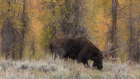 Rutting Bull Moose stock video footage