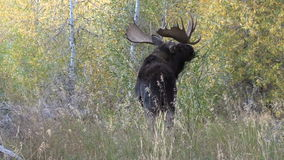 Rutting Bull Shiras Moose stock video footage
