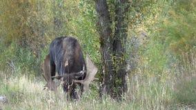 Rutting Bull Shiras Moose. A bull shiras moose in the fall rut stock footage