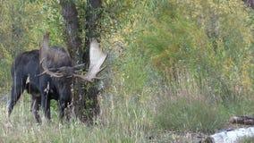 Rutting Bull Shiras Moose in Fall. A bull shiras moose in the fall rut stock video footage